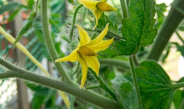Tangkai dan Bunga Tomat