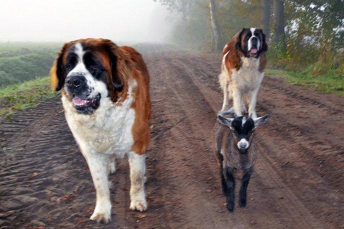 unleashed-st-bernards-raising-baby-goats