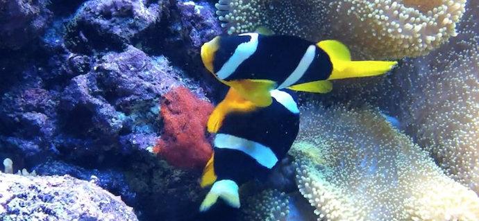 Ikan nemo Sebae