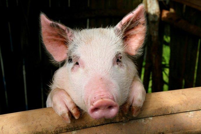 babi sakit 2