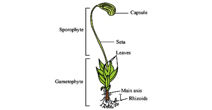struktur tumbuhan lumut