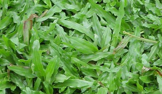 Jenis-Rumput-Gajah-Besar-998599869-1528772912705