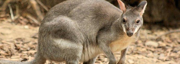 kangguru tanah