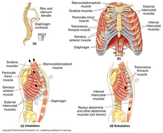Otot-otot pernapasan