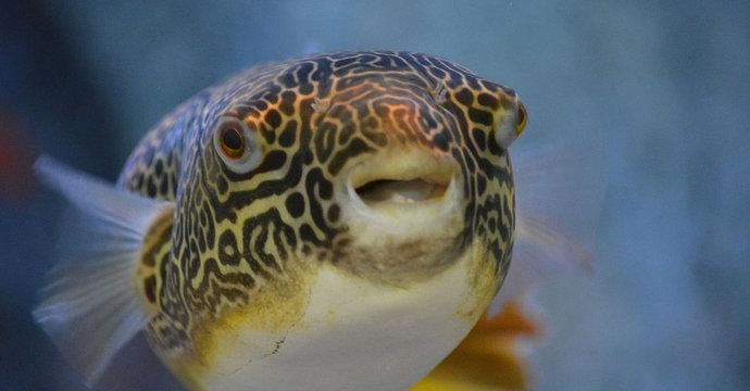 ikan buntal air tawar raksasa