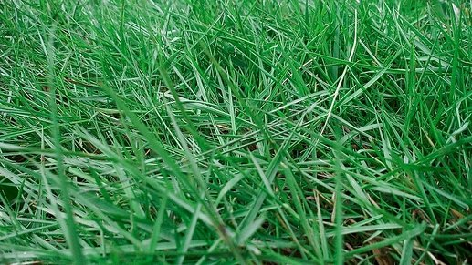 Jenis-Rumput-Peking