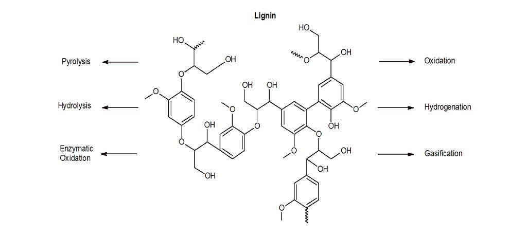 Apa yang dimaksud dengan lignin? - Biologi - Dictio Community