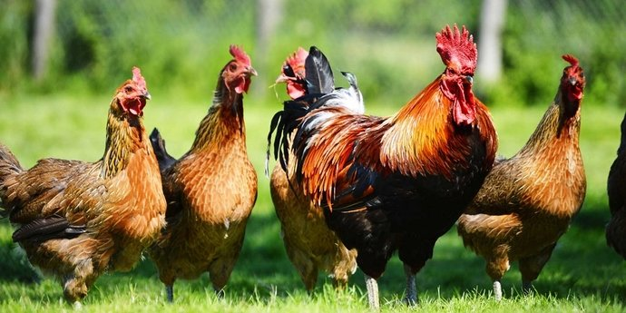 large-ayam-ayam-eksotis-indonesia-ini-harganya-selangit1479272347