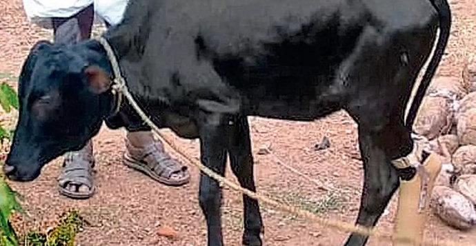 Black leg