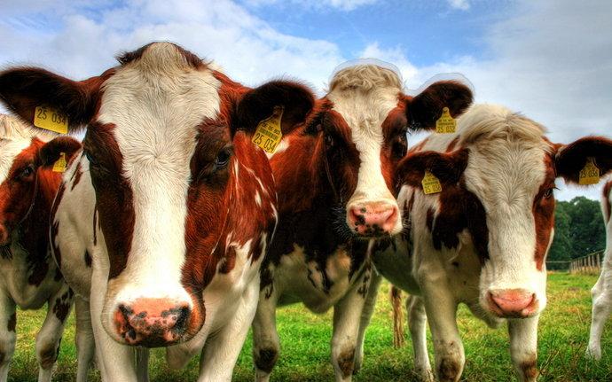 budidaya-ternak-sapi-potong-pedaging-perah-viterna-poc-nasa-hormonik