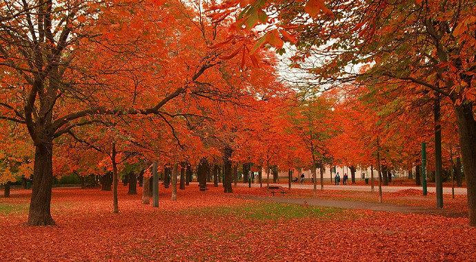 pohon mapel