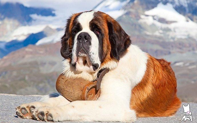st-bernard-dog-alps