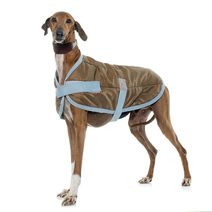 greyhound-7