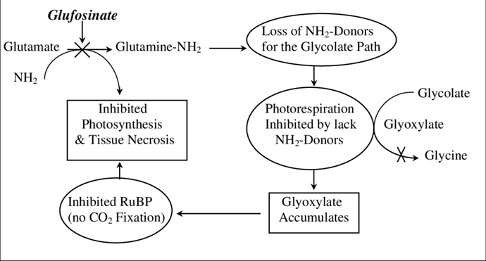Glufosinate-Mode-of-Action