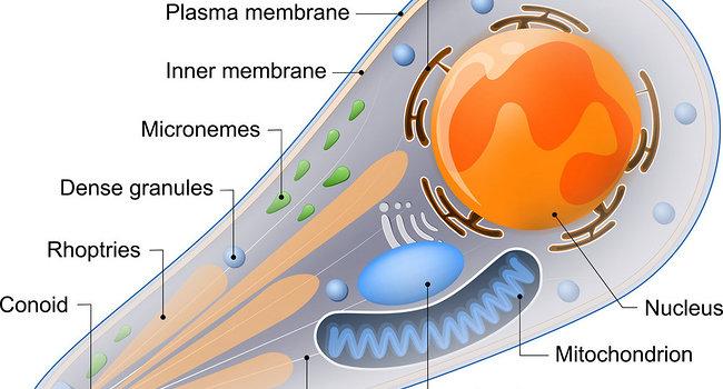 taxoplasma