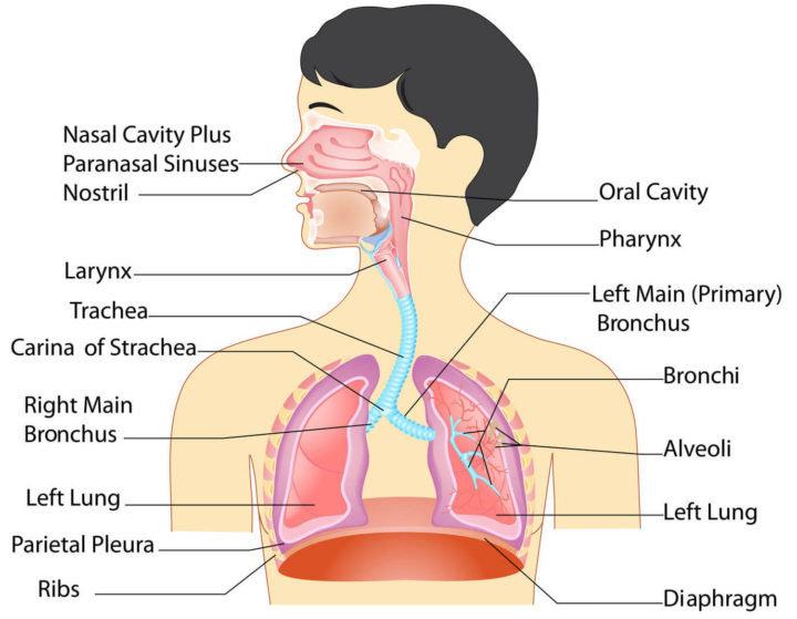 Bagaimana Anatomi Paru Paru Manusia Ilmu Kedokteran Dictio Community