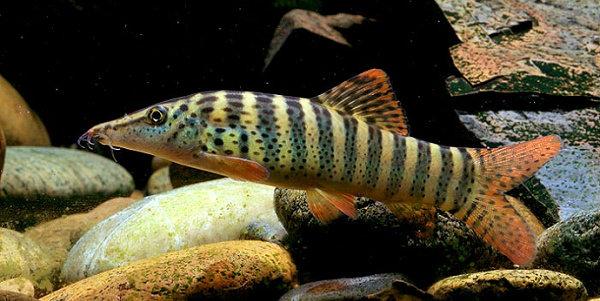 Ikan Botia Macan (Syncrossus hymenophysa)
