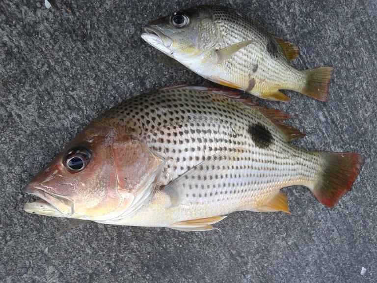 Ikan Tanda Tatap