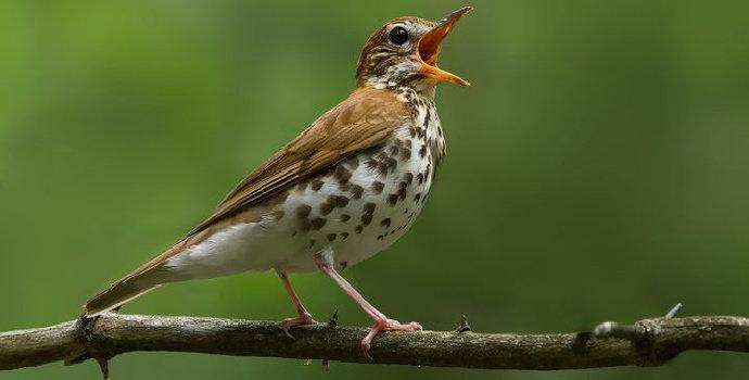 Bagaimana cara kerja suara burung ?