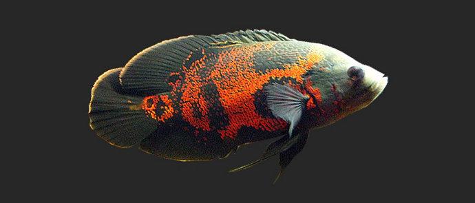 Mengapa Ikan Oscar Berenang Miring Diskusi Perikanan Dictio Community
