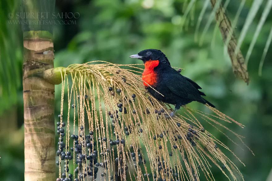 Red-Ruffed Fruitcrow