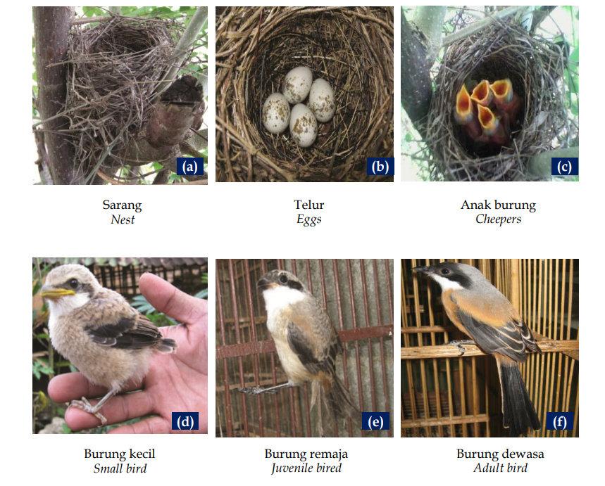 Fase perkembangan burung Burung Cendet kelabu