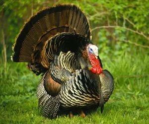 Apa Saja Makanan Yang Baik Untuk Ayam Kalkun Hewan Peliharaan