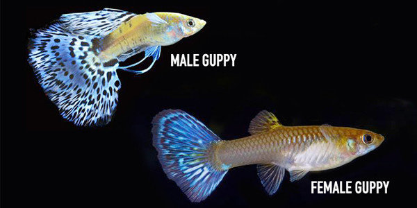 perbedaan ikan guppy jantan dan betina