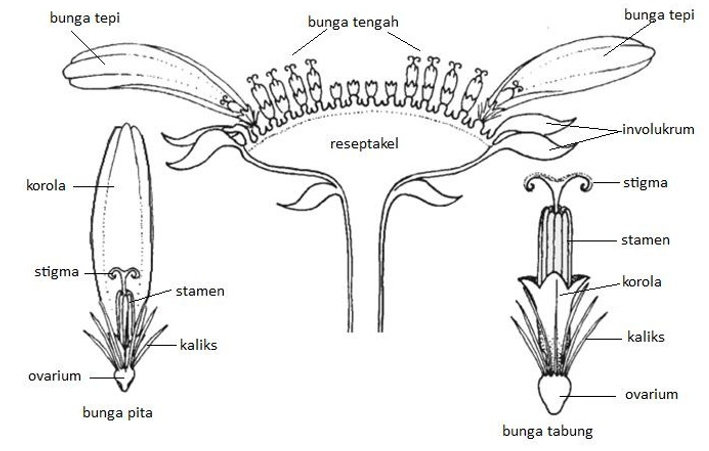 Pseudanthium pada Tumbuhan Asteraceae