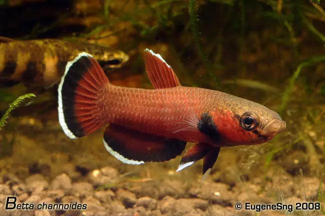 Ikan cupang Betta Channoides