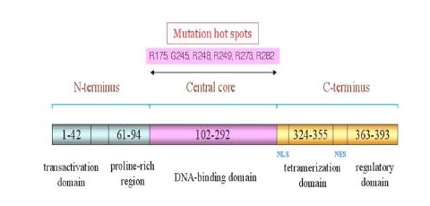Representasi Skematik Struktur P53