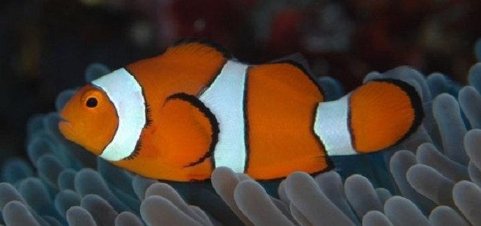 Ikan Nemo Percula