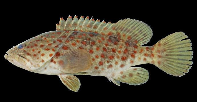 Ikan Kerapu Balong atau kerapu muara