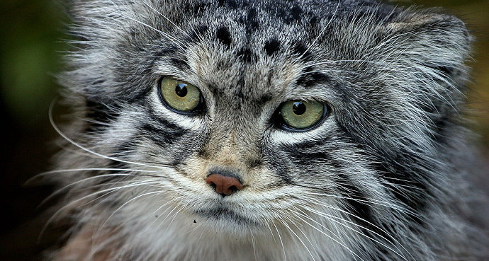 Bagaimana Cara Memotong Kuku Kucing Hewan Peliharaan Dictio Community