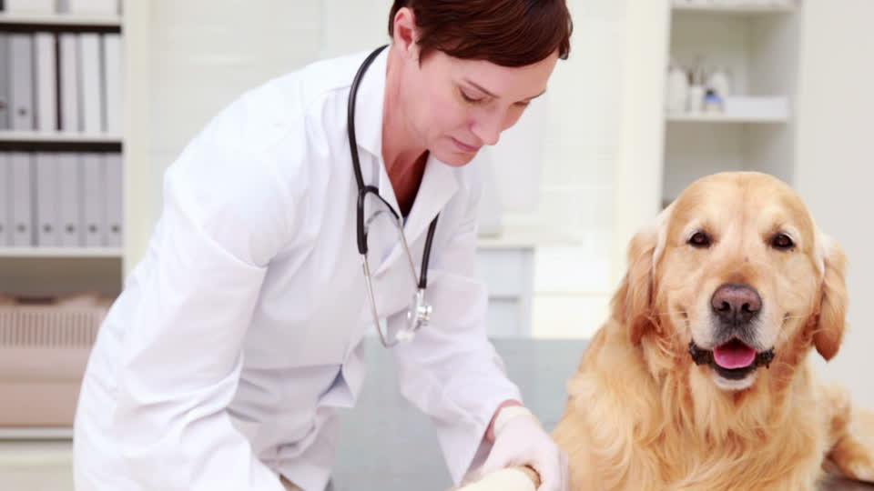 442237913-labrador-tier-veterinarian-medical-check-up-bandage-medicine