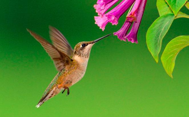 Bagaimana Perawatan Burung Kolibri Sepah Raja Hewan Peliharaan Dictio Community