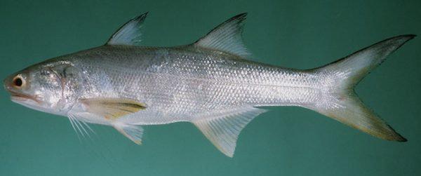 Ikan Kuro atau kurau