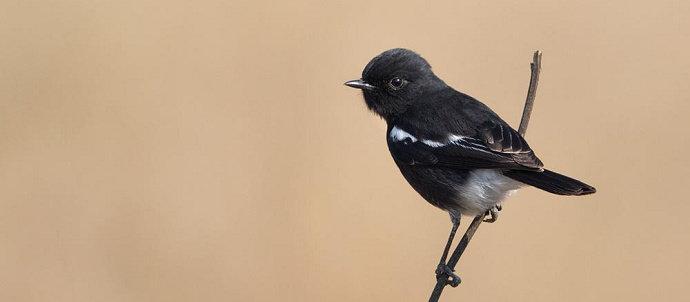 Bagaimana Cara Mengatasi Burung Decu Yang Macet Bunyi Hewan Peliharaan Dictio Community