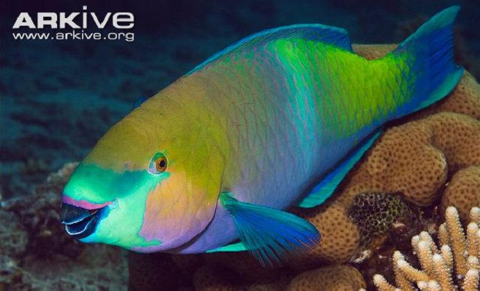 Ikan Kakatua atau Parrotfishes