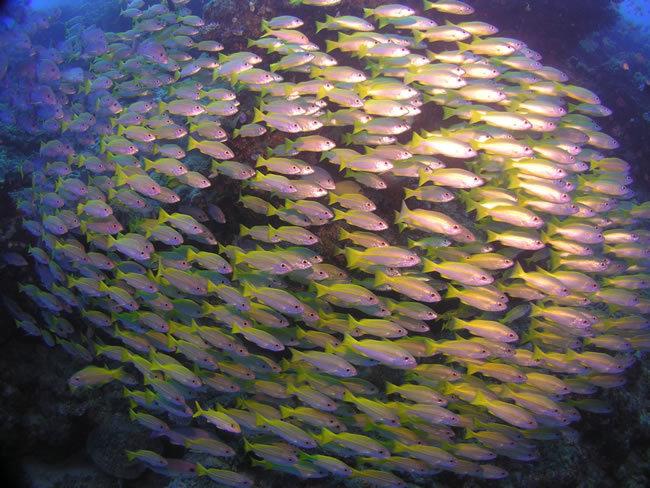 Ikan Kuniran