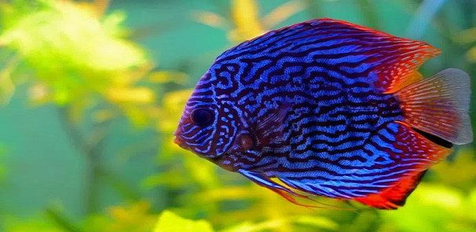 Apa Saja Ciri Ciri Ikan Discus Yang Terserang Penyakit Diskusi Perikanan Dictio Community