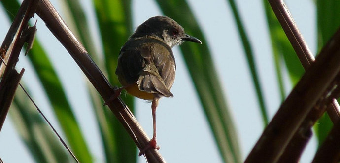 Burung Perenjak jawa atau burung ciblek