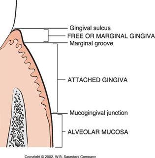 Apa yang dimaksud dengan Gingiva? - Ilmu Kedokteran Gigi ...