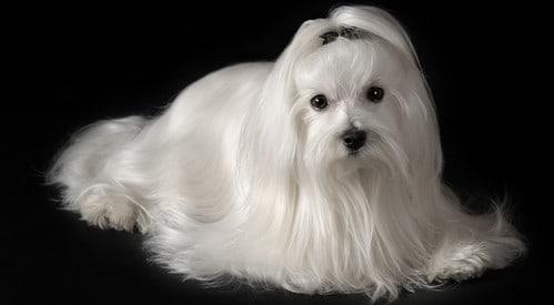 maltese-dog-long-clean-coat (499 x 275)-min-499x275