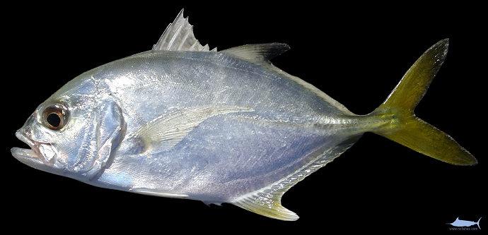 Ikan Kuwe Mata Besar