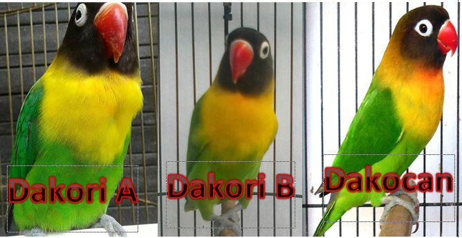 Lovebird Dakori A dan B dengan Dakocan