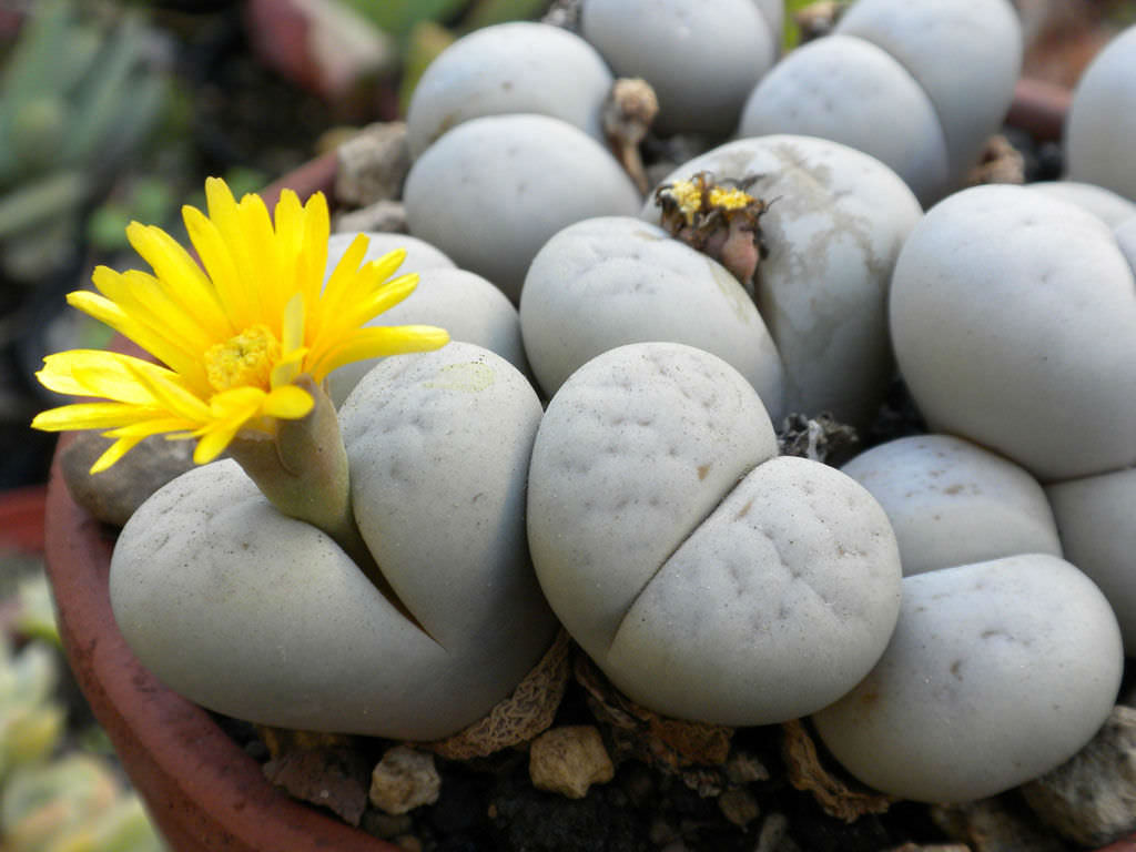 Lithops-ruschiorum-Living-Stones1
