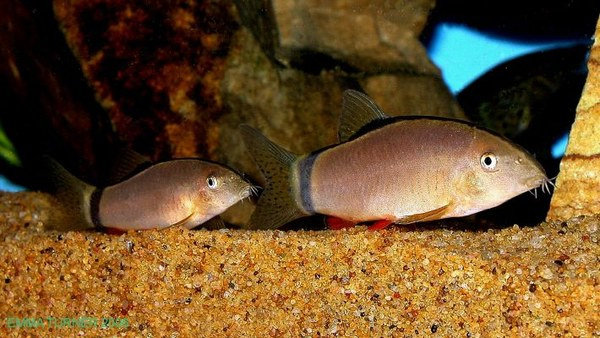 Ikan Botia Morleti (Yasuhikotakia morleti)