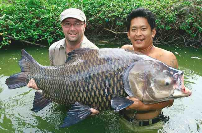 Ikan Grass Carp