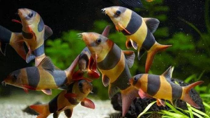 Apa Saja Jenis Jenis Ikan Botia Diskusi Perikanan Dictio Community